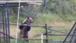 Download Language Warning! Grizzly Bears trying to eat my pet ducks.. Video