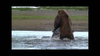 Download GRIZZLY FIGHT COMPILATION HD- katmai, alaska, Grizzly vs Grizzly, bear fight Video