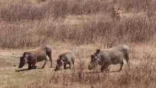 Download Lioness Hunting Warthog - A Real Life Nala Trying to Kill Pumba For Lunch Video