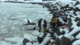 Download Mass Stranding of Killer Whales in Sea Ice off Shiretoko Video