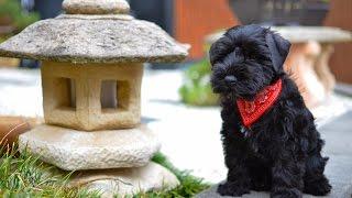 Download Black Miniature Schnauzer Puppy First Day Home - Winston Video