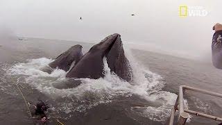 Download Presque avalé par une baleine Video