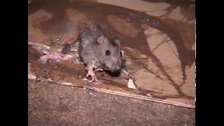 Download Les rats dans la ville de Paris - Reportage Video