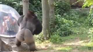 Download ANIMALS VS HUMANS COMPILATION!!! Video