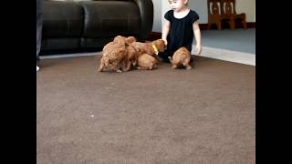 Download Cavapoo Puppies For Sale Jason King Video