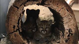 Download Adorable Orphaned Mountain Lion Cubs' First Day at CMZoo Video