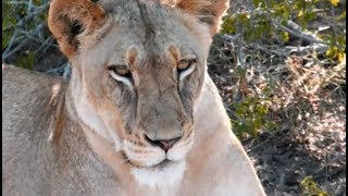 Download Pt 1 Safari Live's Sunrise Safari Drive at 5:55 AM on Jan 19, 2018 ( Nkuhuma Pride ) Video