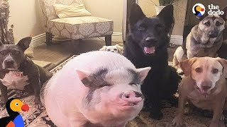 Download Pig Is Smarter Than His Dog Siblings | The Dodo Video