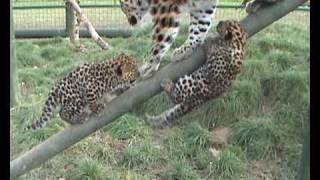 Download Amur leopard cubs Video