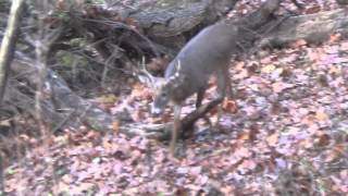 Download Best calling whitetail deer grunt in the world lol. It works though Video