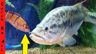 Download ROBOTIC FISH LURE vs 12lb GIANT! Video