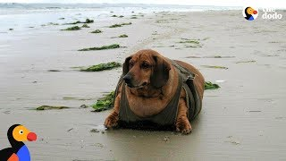 Download Obese Dachshund Loses 50 Pounds - OBIE | The Dodo Video