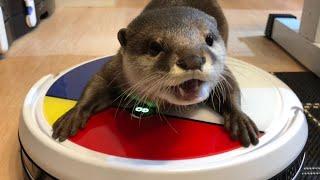 Download カワウソさくら 夏の自由研究!VANiGOロボット掃除機と戯れる Otter and robot vacuum cleaner Video