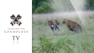 Download Incredible Female Leopard Fight - Londolozi TV Video