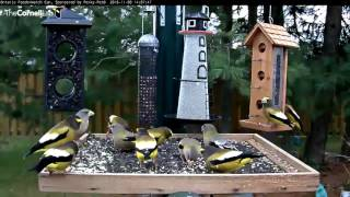 Download Evening Grosbeaks Take Over Ontario - Nov. 8, 2016 Video