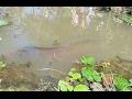 Download Nông dân miền Tây bắt được cá hải tượng 150 kg Video