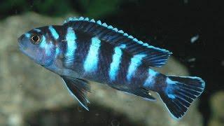 Download akwarium akwaria ryby pielęgnice Video