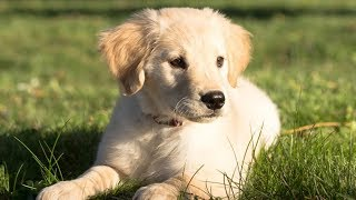 Download 15 Best Dog Breeds For Seniors and Retirees Video
