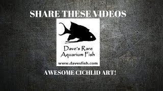 Download BEST CICHLID ART EVER $100 Dave's Rare Fish Rachel O'leary | Jay Wilson Video