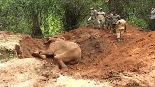 Download Elephant rescued from trap : a success story from India Video