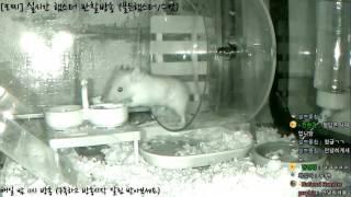 Download [모찌Live/햄스터] 실시간 햄스터 관찰 방송 Hamster Live #16-12-22 Video
