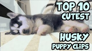 Download TOP 10 CUTEST HUSKY PUPPY VIDEOS OF ALL TIME Video