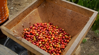 Download Why is Sumatran coffee so special? Video
