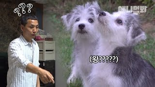 Download 말스키를 처음 본 찬종쌤이 내뱉은 첫 마디ㅋ ㅣ Coolio Puppies Between A Husky Siberian Mom And A Maltese Dad Video