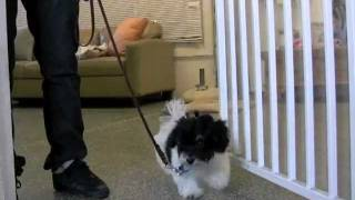 Download How To Teach Leash Walking - Who's Walking Who? Video
