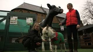 Download Meet Ottie, the worlds smallest donkey Video
