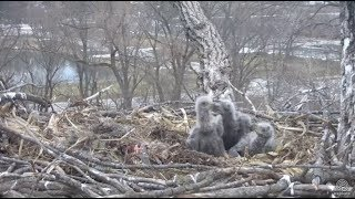 Download Decorah Eagles~N2B-Playful Nips & Licks-A Little Beaking & Bonking-Picture in Picture 4.21.18 Video