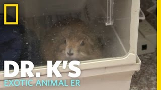 Download One Tough Cookie | Dr. K's Exotic Animal ER Video