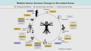 Download Genomic Events Altering Sialic Acid Biology Predated the Common Ancestor of Humans and Neanderthals Video