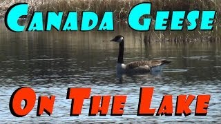 Download Canada Geese Moving In & Ms Gimp Is A Seriously Dirty Bird #13 Hatching Ducklings Ducks Video