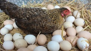 Download Hen Harvesting Eggs to Chicks | Country Eggs to New ″BORN″ Murgi Birds Smallest chicks (FishCutting) Video