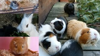 Download Daily Pet Routine | Guinea Pigs, Hamster, Rabbits & Gerbils! Video