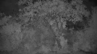 Download Djuma: Large spotten Genet goes up in to tree-White-tailed Mongoose on the prowl - 19:21 - 03/23/19 Video