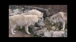 Download International Wolf Center - 11 November 2016 - High Vantage Points Video