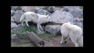 Download International Wolf Center- Assessing Personalities - 30 September 2016 Video