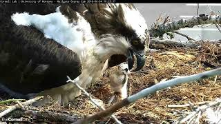 Download Hellgate Osprey Chick's First Feeding is a Family Affair (long clip) – June 4, 2018 Video