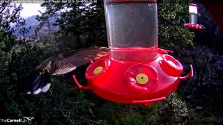Download Magnificent and Blue-throated Hummingbirds at the Feeder, October 16,2015 Video