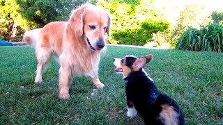 Download CORGI PUPPY VS GOLDEN RETRIEVER - Life After College: Ep. 333 Video