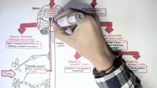 Download Neurology - Divisions of the Nervous System Video