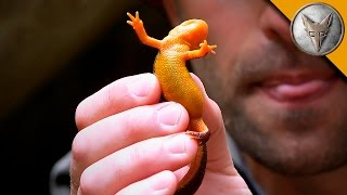 Download Extremely Poisonous Newt! Video