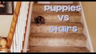 Download Puppies Vs. Stairs Video