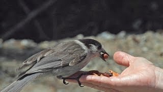 Download Whiskey Jack (Gray Jay) Encounter on Howe Sound Crest Trail Video