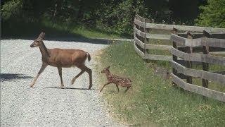 Download mother and baby deer Video
