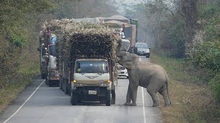 Download Elephant Stops Passing Trucks To Steal Bundles Of Sugar Cane Video
