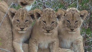 Download July 6 WildEarth Sunrise SafariLIVE Bushwalk, Hyena cubs, mating lions, Nkuhuma Cubs!! Video