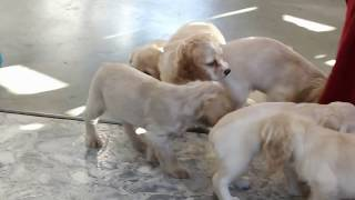 Download Cockapoo Puppies For Sale Levi Fisher Video